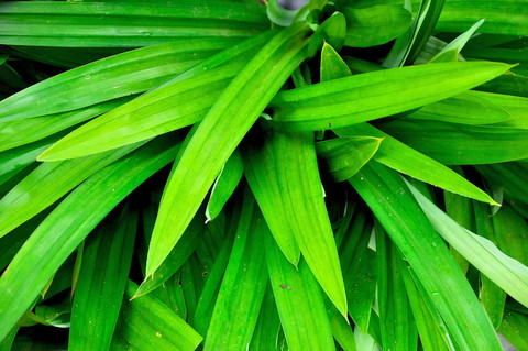pandan-leaves